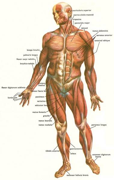 muscles_human_body_front