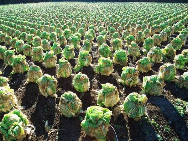 Cabbage_field