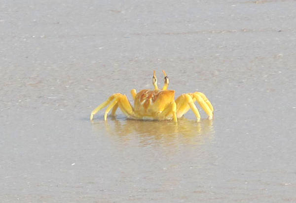 Thyckal beach : crab