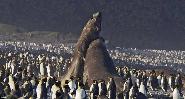 elephant_seals_fight_