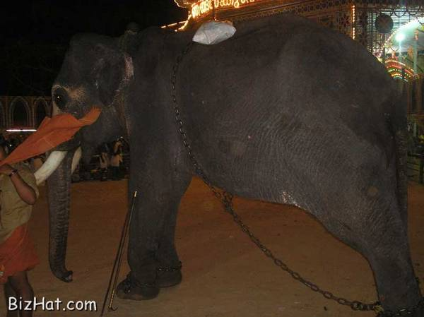 Elephant during feast