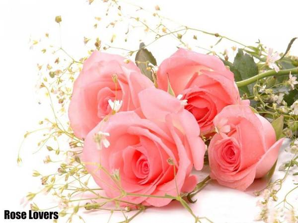 Roses_-pink