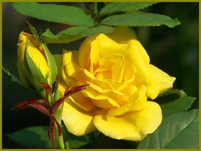 roses_buds3