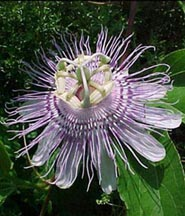 Christs_symbols_Passion_Flower-