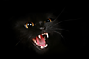 animal-photography-black-cat.png