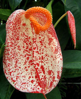 spotted_anthurium