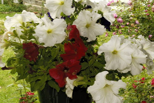 White and Red   Petunia