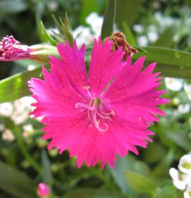 hot-pink-dianthus
