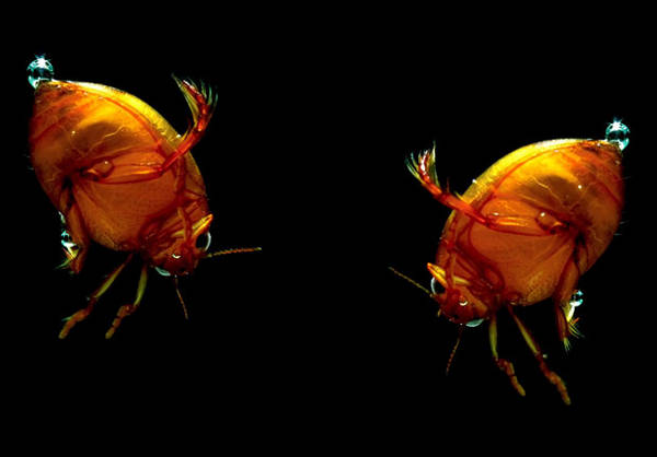 Two_water_beetles