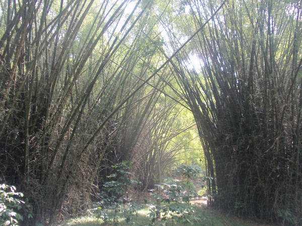 Bamboo forest, PTR