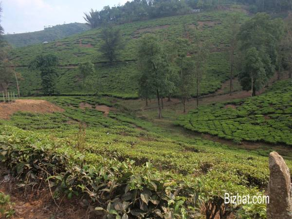 Tea plantation enroute