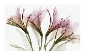 X-Ray_Flowers1