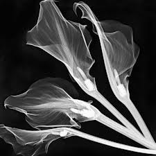 X-Ray_Flowers2