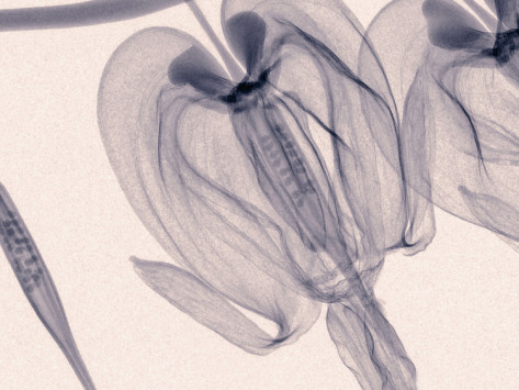 x-ray-of-bleeding-heart-flowers
