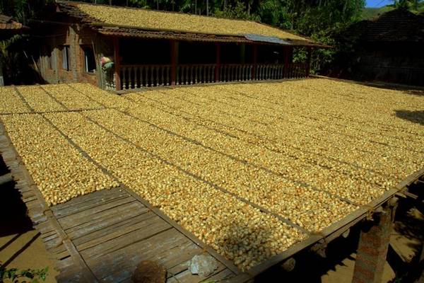 Betul_nuts_drying_on_roofs
